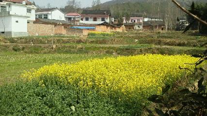 菜の花と農民とトキ