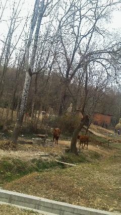 村の大木でペア争い